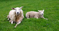 Sheep lying in the grass Royalty Free Stock Photo