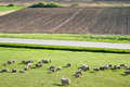 Sheep on meadow Royalty Free Stock Images
