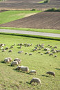 Sheep on meadow Royalty Free Stock Photography