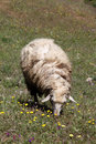 Sheep on a meadow in chefchaouen morocco Royalty Free Stock Photo