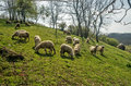 Sheep on a meadow in early spring 01 Royalty Free Stock Photo