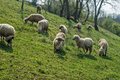 Sheep on a meadow in early spring 04 Royalty Free Stock Photo