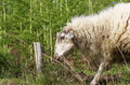 Sheep in a meadow eating grass Stock Photography