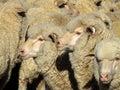 Sheep - Mob Royalty Free Stock Photo