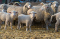 Sheep within a mob turn to check out the photographer . Royalty Free Stock Photo