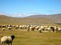 Sheep on the mongolian plains a herd of grazes steppe Royalty Free Stock Images