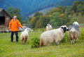 Sheep in mountain Stock Photos