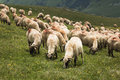 Sheep on the mountain big flock of Royalty Free Stock Photography