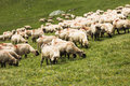 Sheep on the mountain big flock of Royalty Free Stock Images