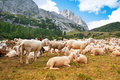 Sheep in mountain dolomite alps italy Royalty Free Stock Image