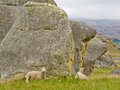 Sheep on a mountain pasture between granite rocks grazing lush green grass at the foot of large boulders south island of new Stock Images
