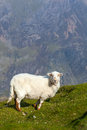 Sheep on a mountain pasture over background Stock Images