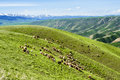 Sheep on the mountain photoed in xinjiang of china Stock Photos