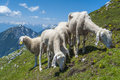 Sheep on the mountain small flock of Royalty Free Stock Images