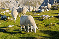 Sheep in the mountains Royalty Free Stock Images