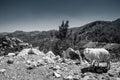 Sheep on the mountains of Crete, Royalty Free Stock Photo