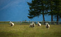 Sheep in New Zealand. Stock Images