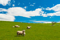Sheep in the new zealand common view hills covered by green grass with herds of Stock Photography