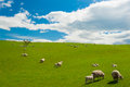 Sheep in the new zealand common view hills covered by green grass with herds of Royalty Free Stock Image