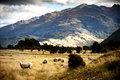 Sheep in New Zealand. Royalty Free Stock Photo