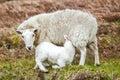 Sheep nursing lamb mother in farm field Stock Image