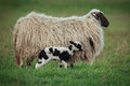 Sheep with offspring Royalty Free Stock Photo
