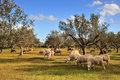 Sheep in olive tree field Royalty Free Stock Photo