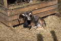 Sheep in the open air zoo next to the trough lying in the sun Royalty Free Stock Photo