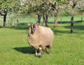 Sheep in an orchad Royalty Free Stock Photo