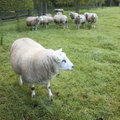 Sheep in an orchard in the netherlands near utrecht Royalty Free Stock Photo