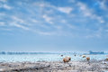 Sheep outdoor on frosted winter pasture in holland Stock Photography