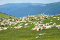 Sheep with paint markings in a green meadow romania Stock Images