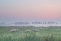 Sheep on pasture in morning fog Royalty Free Stock Photo