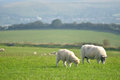 Sheep on path, Swyre Head Royalty Free Stock Photo
