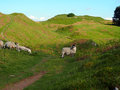 Sheep on pathway Royalty Free Stock Photo