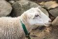 Sheep at the petting zoo Royalty Free Stock Photo