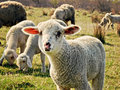 Sheep a photo of on pasture Royalty Free Stock Photos