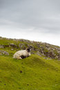 Sheep and picturesque pastures rodel outer hebrides scotland Stock Photos