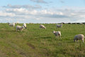 Sheep in port isaac on a meadow cornwall Royalty Free Stock Photos