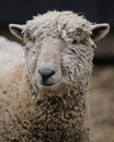 Sheep Portrait Stock Photo