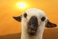 Sheep portrait at sunset funny curious white over beautiful colors of Royalty Free Stock Photo