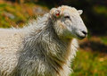 Sheep portrait welsh mountain ewe Royalty Free Stock Images