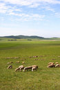 Sheep in prairie Royalty Free Stock Photo