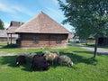Sheep in Pribyina skanzen, Slovakia