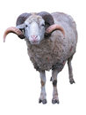 Sheep ram with horns over green grass background Stock Photo