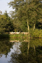 Sheep reflected in a lake Royalty Free Stock Photography