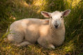 Sheep resting in the grass shade on Royalty Free Stock Photos