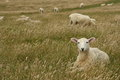 Sheep resting in grassy meadow Royalty Free Stock Photo