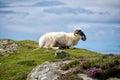 Sheep resting Royalty Free Stock Photo