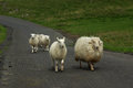 Sheep On A Road In The Yorkshi...